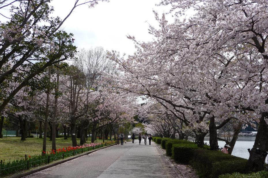 Promenade agréable sous les cerisiers en fleurs