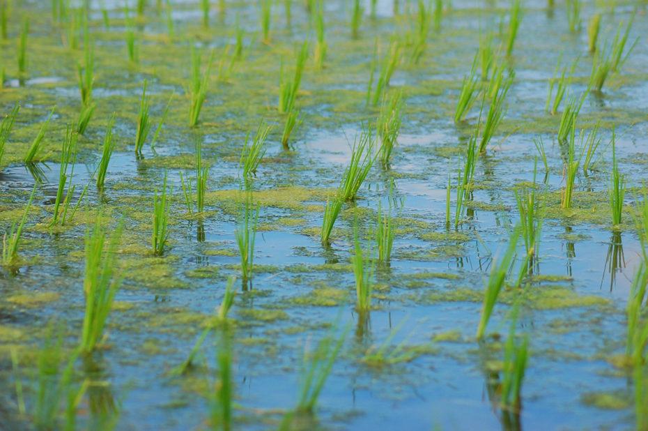 Dans une rizière balinaise