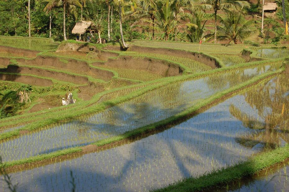 Rizière traditionnelle sous le soleil de Bali