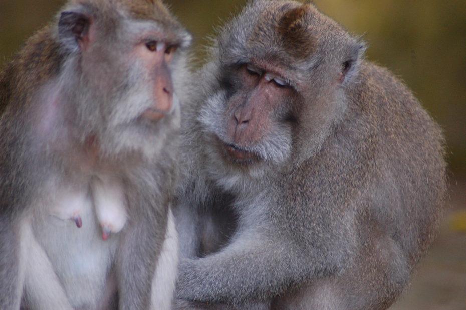 Deux singes, un mâle et une femelle