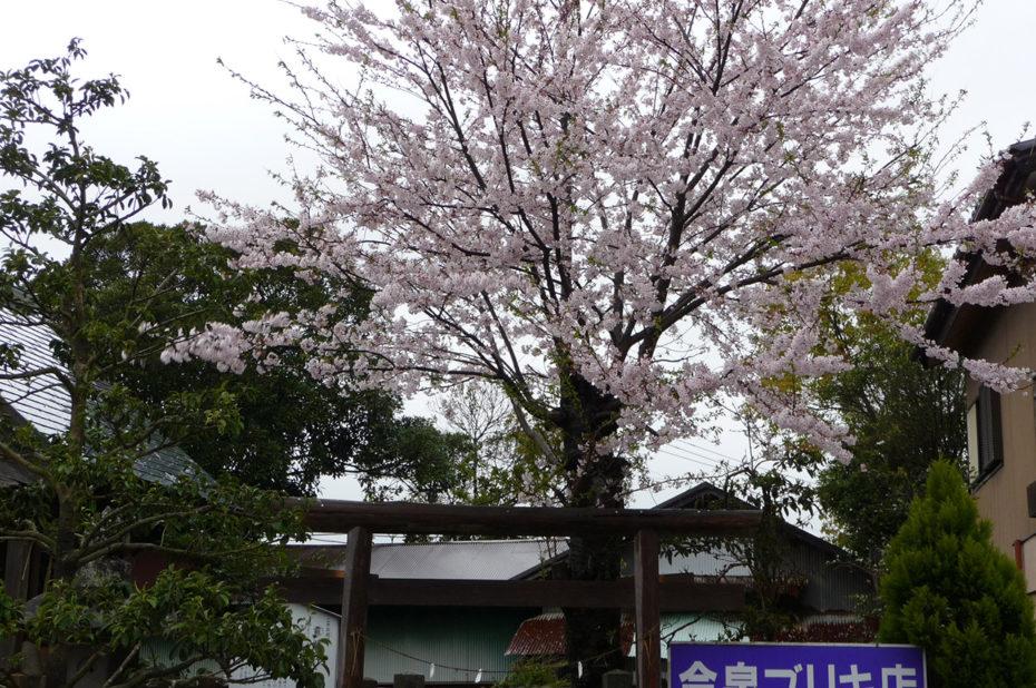 Torii et cerisiers en fleurs à Kashima