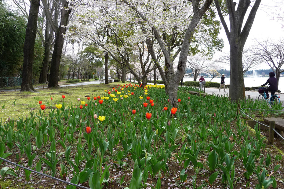 Tulipes jaunes et rouges sous les cerisiers