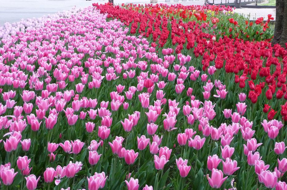 Tulipes au parc de Hibiya