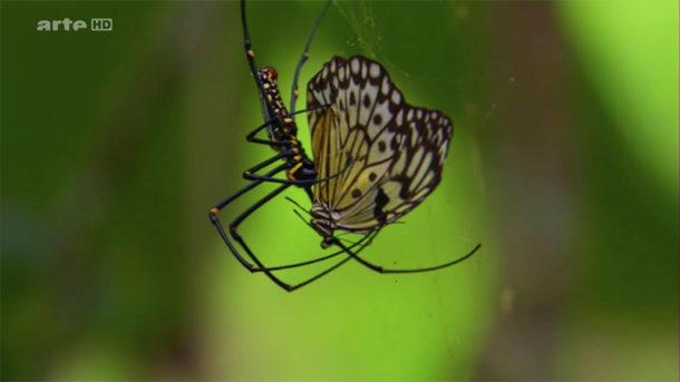 L'araignée libère le papillon du bonheur