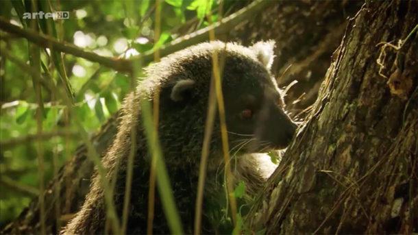Le binturong, mammifère des Philippines