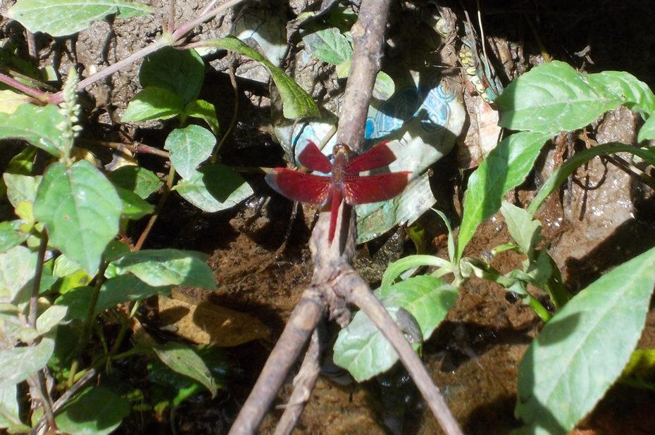 Une libellule rouge