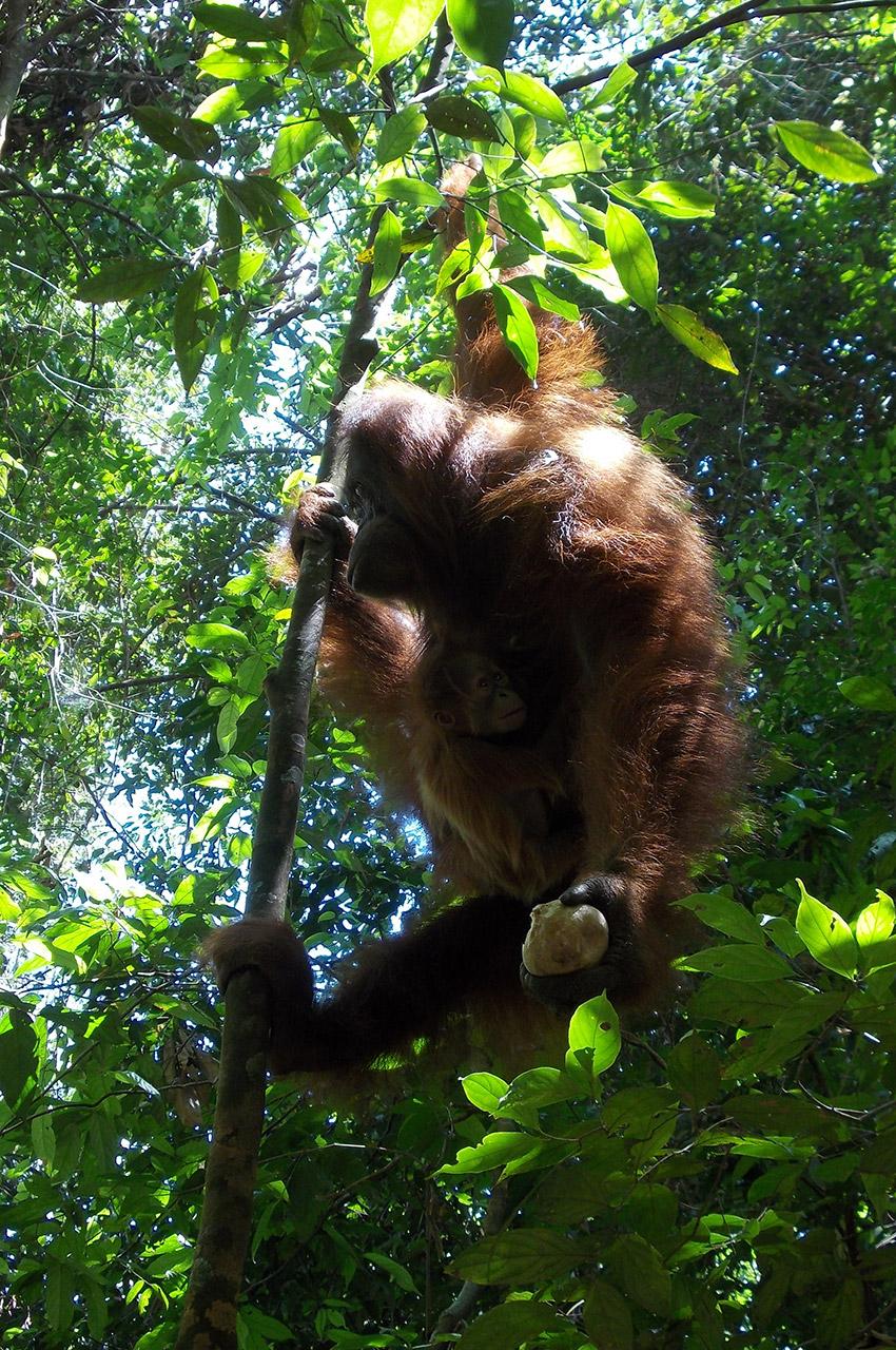 Un orang-outan accroché à une branche