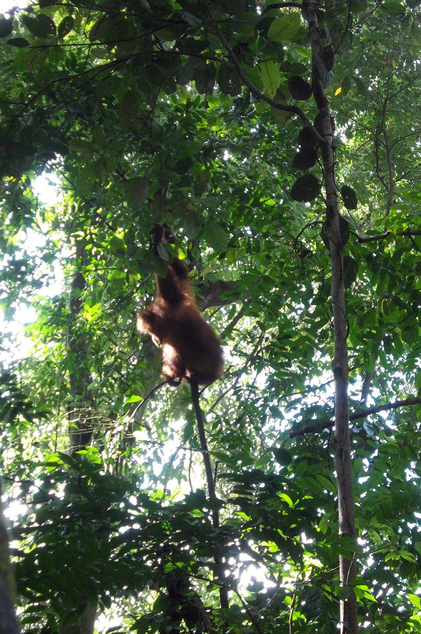 Orang-outan au parc national Gunung Leuser