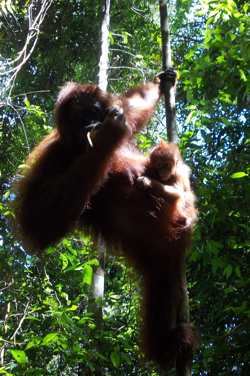 Un orang-outan et son petit dans leur habitat naturel