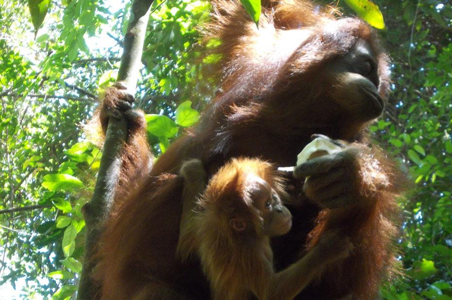 Un orang-outan et son petit dans la forêt