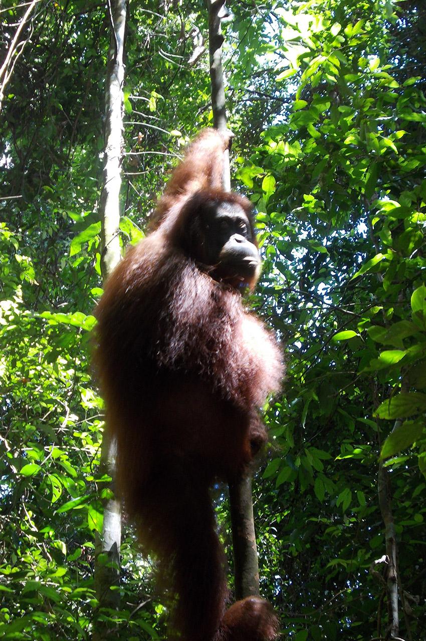 Un orang-outan regarde l'objectif