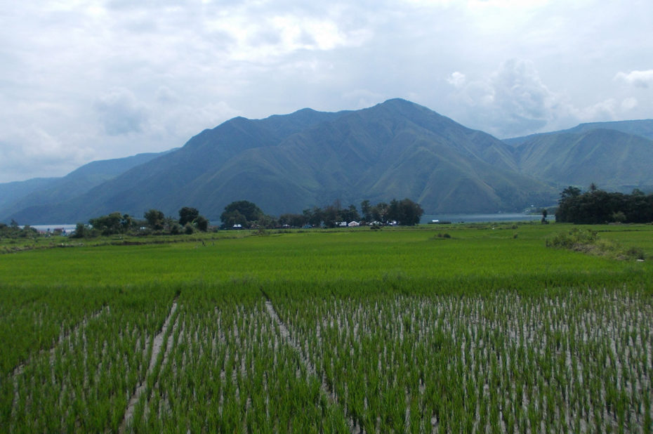 Rizières sur l'île de Samosir