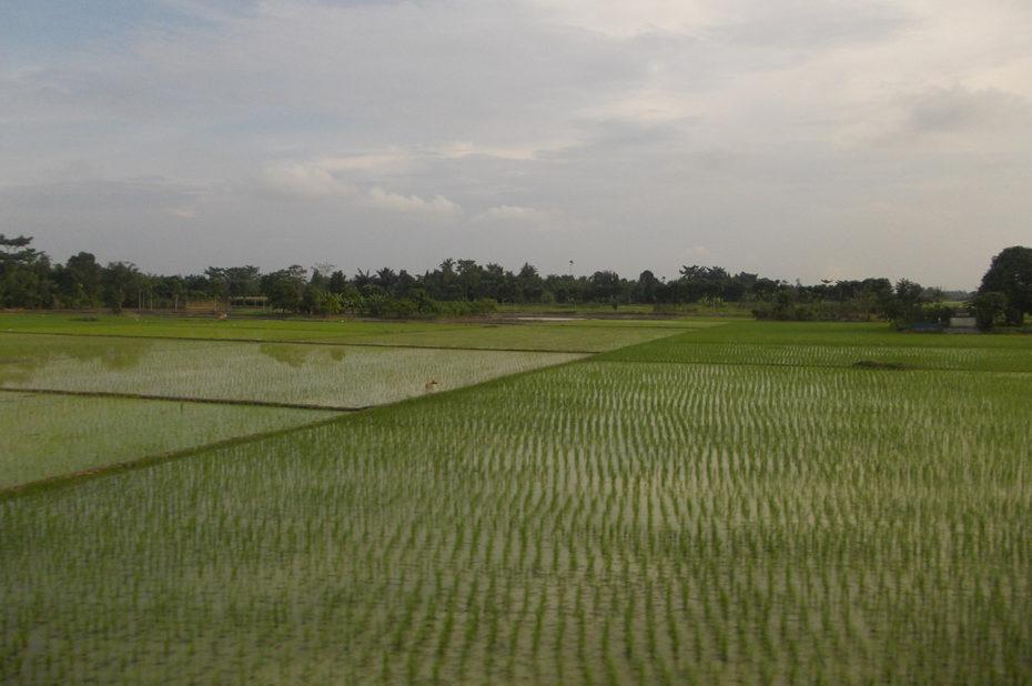 Une rizière à Sumatra non loin du lac Toba