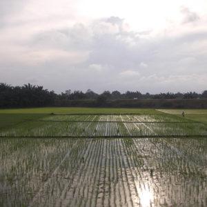 Une rizière au soleil couchant