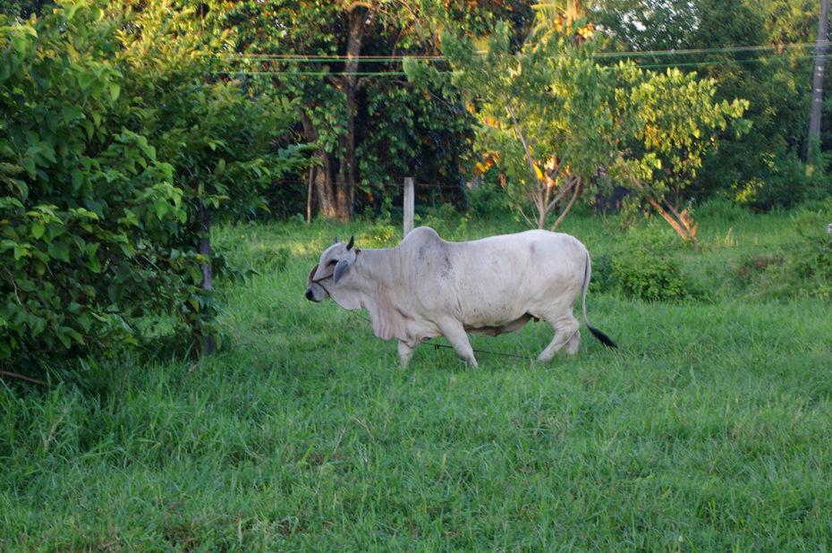 Une vache philippine dans un pré