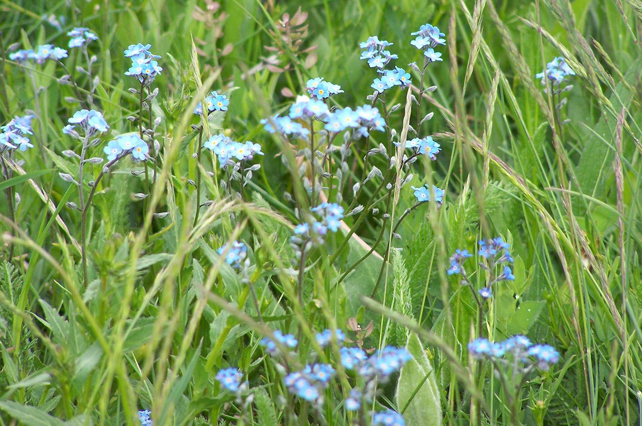 Myosotis (fleur) dans un champ