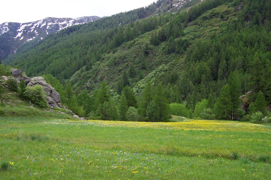 Pré et fleurs de printemps dans la vallée de la Clarée