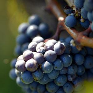 Grappe de raisin dans le vignoble de Blaye Côtes des Bordeaux