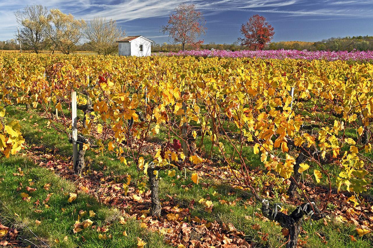 Vignes du Médoc dans le vignoble Bordelais