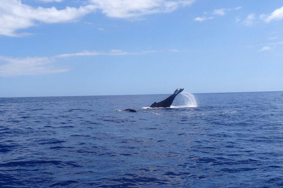 Le magnifique ballet de la baleine