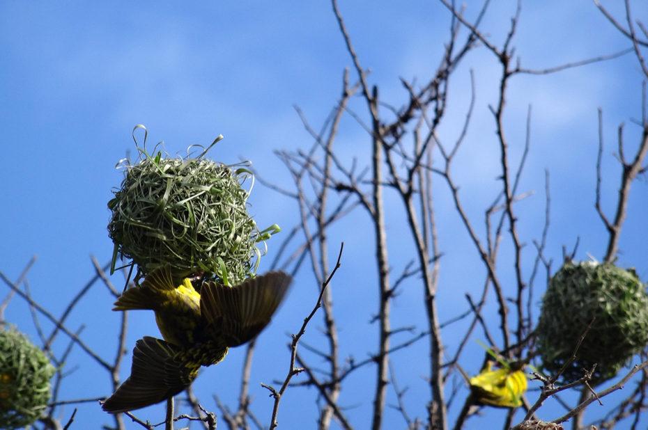 Le bellier, oiseau (Ploceus cucullatus spilonotus)