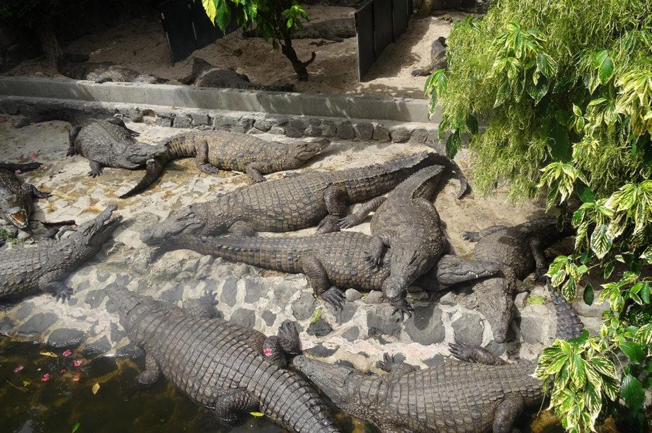 Des crocodiles