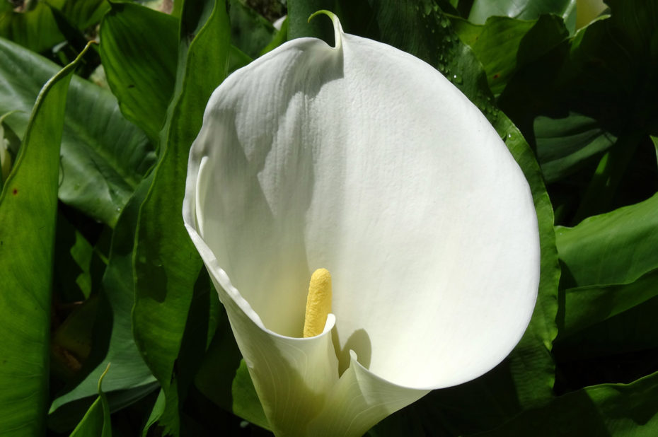 Fleur de l'arum, originaire d'Afrique du Sud