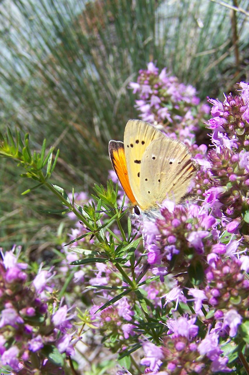 Papillon orange posé sur une fleur de montagne