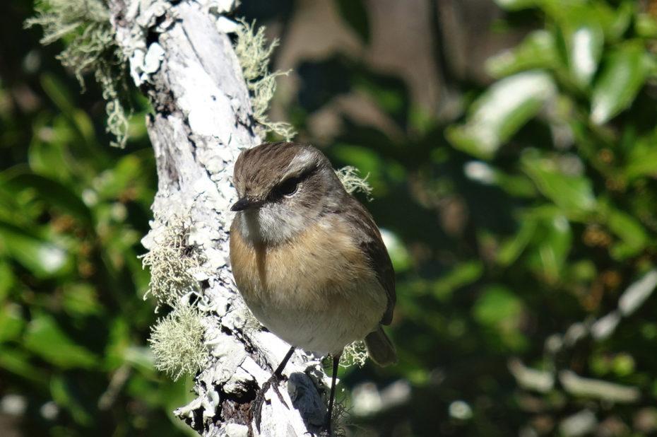 Le tarier, oiseau endémique à la Réunion
