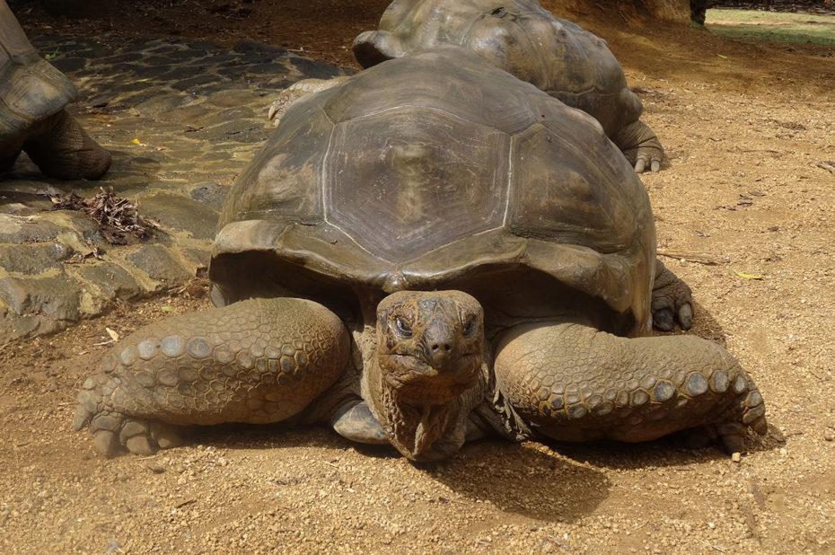 Une tortue géante