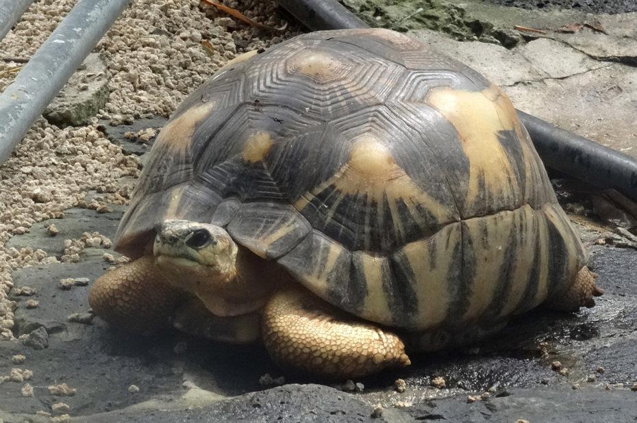 Une tortue de la réserve des Mascareignes
