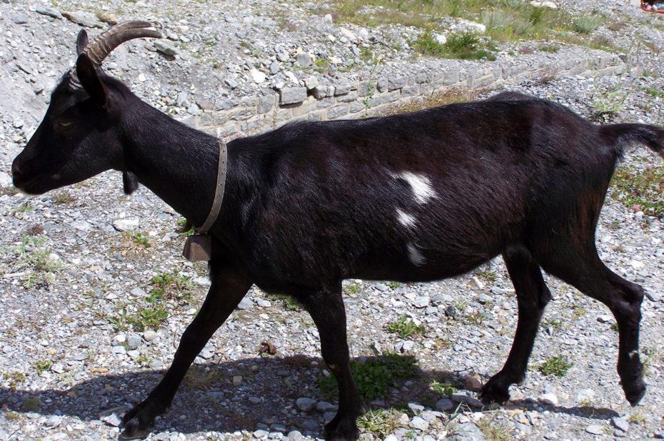 Chèvre noire sur le chemin de randonnée
