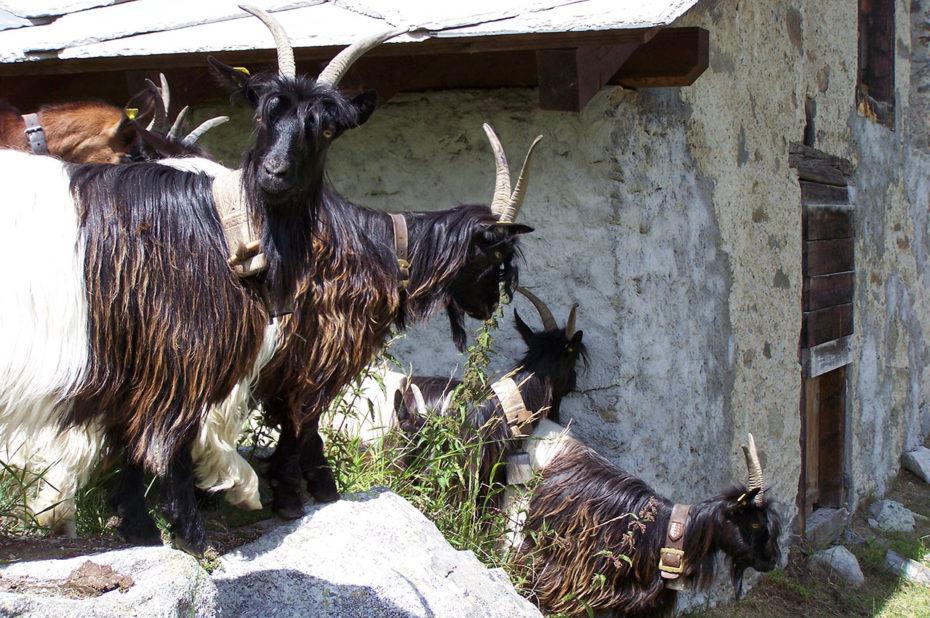 Une chèvre à poils longs regarde l'objectif