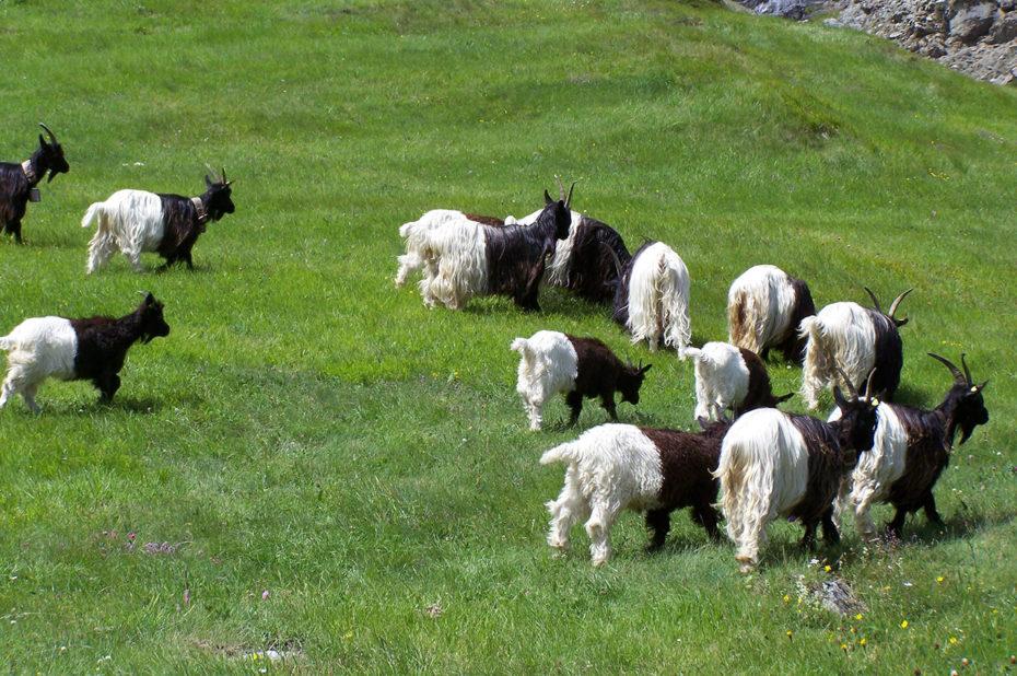 Des chèvres blanches et noires dans les alpages