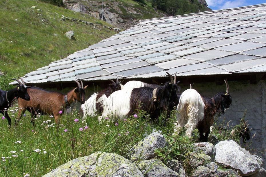 Un troupeau de chèvres près d'une maison