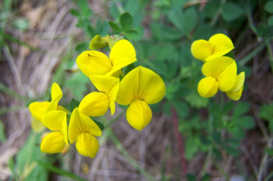 Cytise à balais, fleur jaune