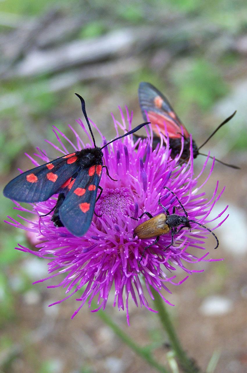 Une fleur prisée par de nombreux insectes