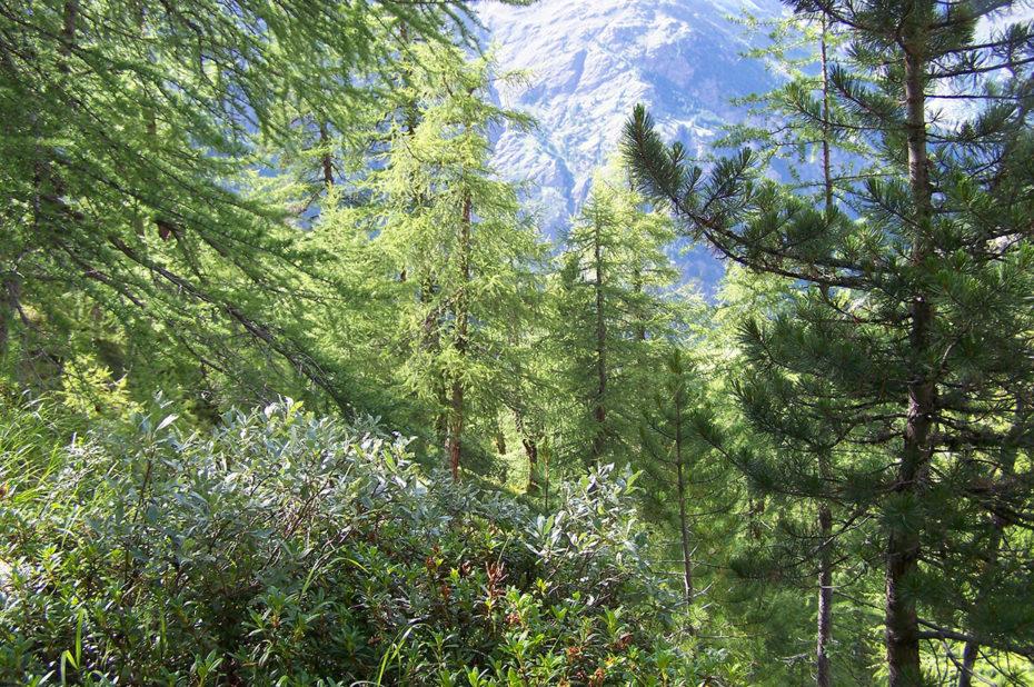 Forêt dense de conifères au-dessus de Täsch
