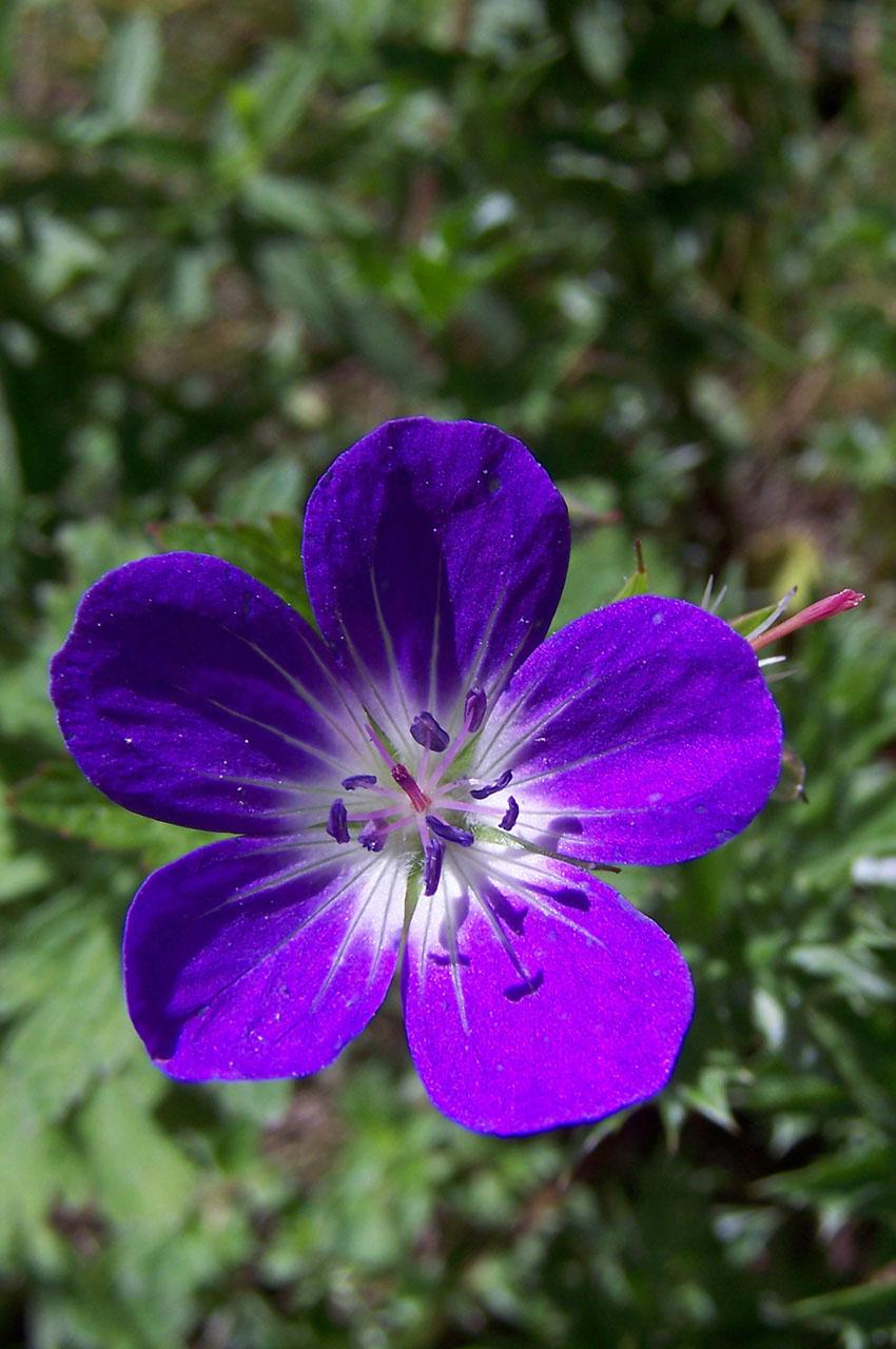 Un géranium des prés violet