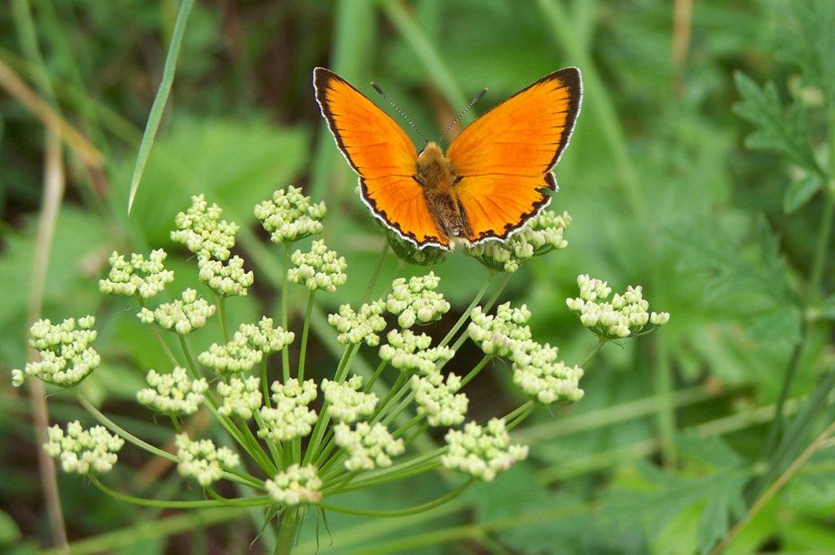 Un papillon orange posé sur une fleur