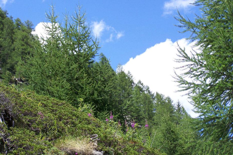 Sapins le long du chemin de randonnée
