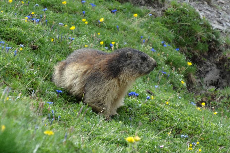 Les marmottes sortent de leur terrier et viennent à la rencontre des randonneurs
