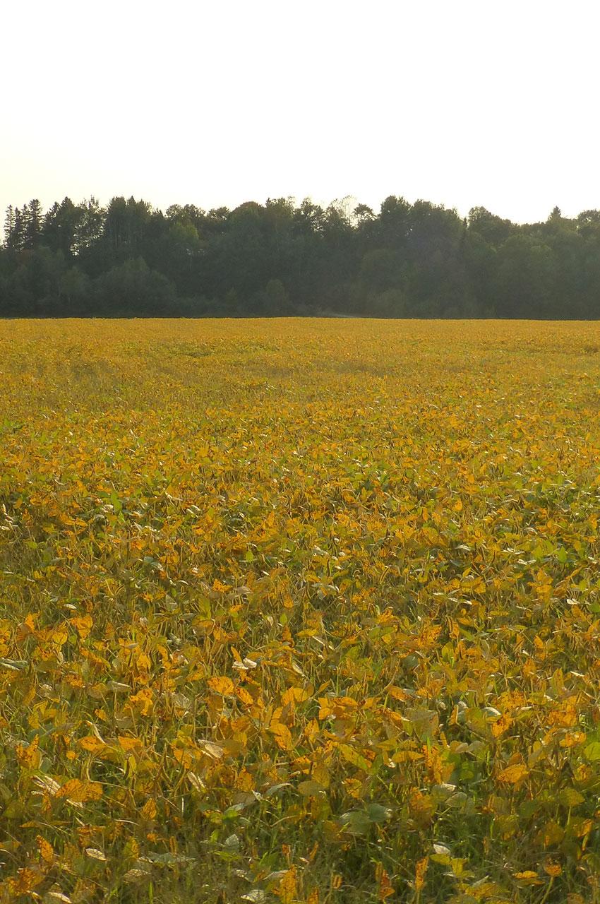 Les champs dorés de la magnifique région de la Mauricie
