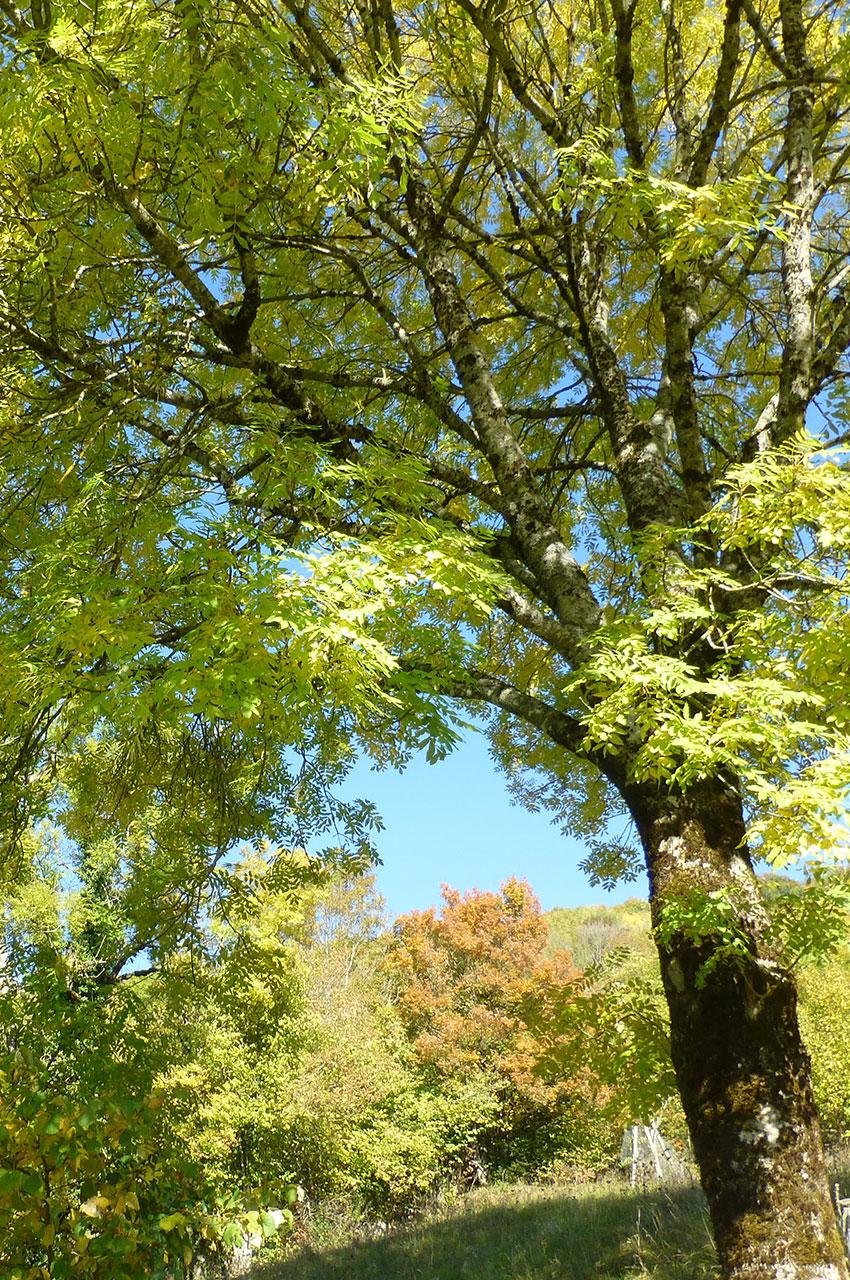 Bel arbre sur le chemin du château des Allymes