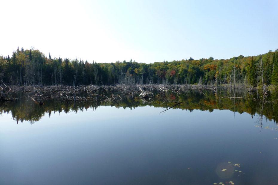 Des arbres ravagés par les castors de l'autre côté du lac