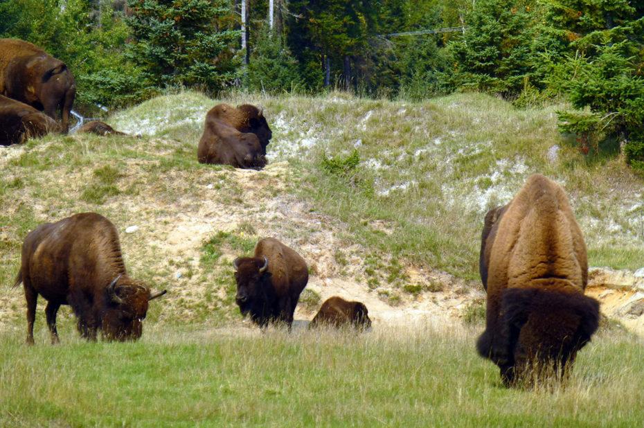 Le bison d'Amérique est désormais un animal menacé