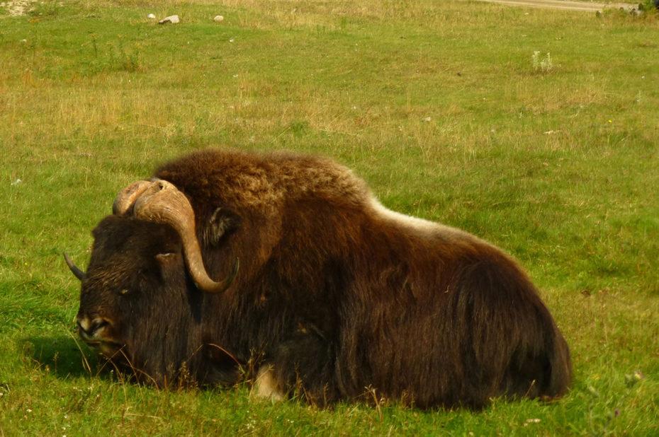 Le bœuf musqué est un herbivore