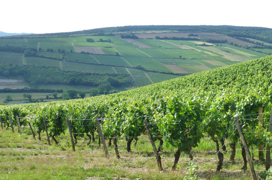 En Bourgogne, les vignes sont découpées en parcelles selon les AOC