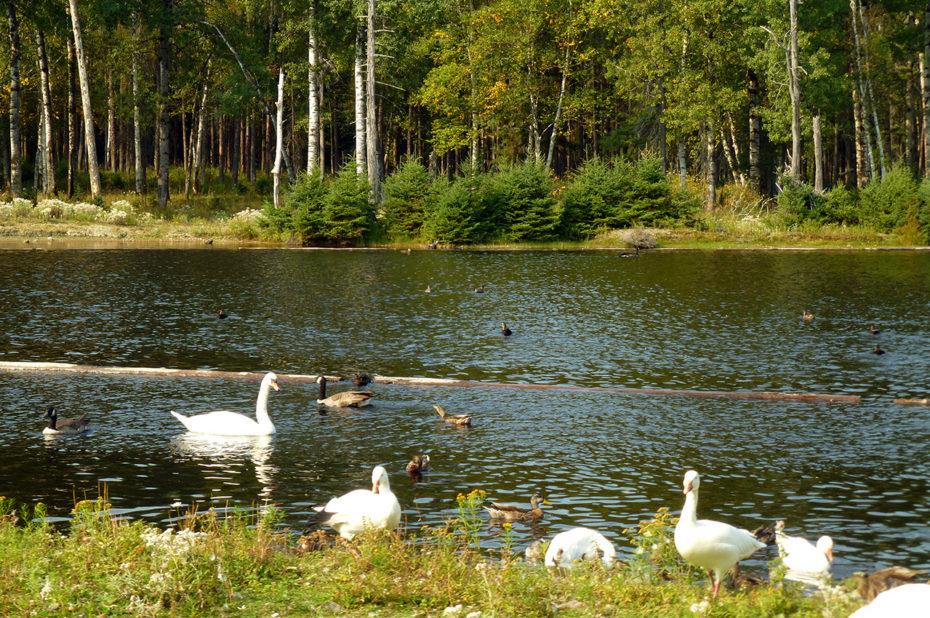 Des canards et des oies sur un lac