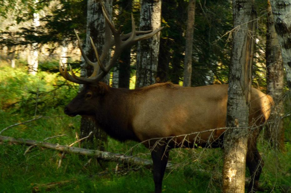 Des bois magnifiques pour ce caribou des bois